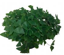 Shamrock Green Plant