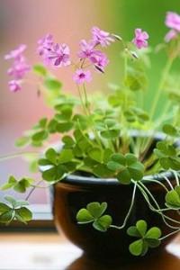 SHAMROCK_GREEN PLANT