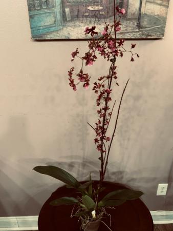 Sharry Baby Oncidium Orchid