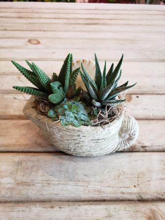Shell Succulent Arrangement plant