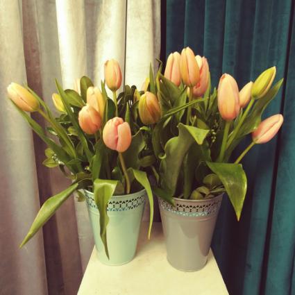 Shivani Tulips