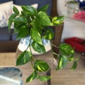 The Cove Pothos Green Plant