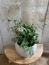 Silver Lace Fern  plant