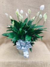 Silver Peace Spathiphyllum Houseplant