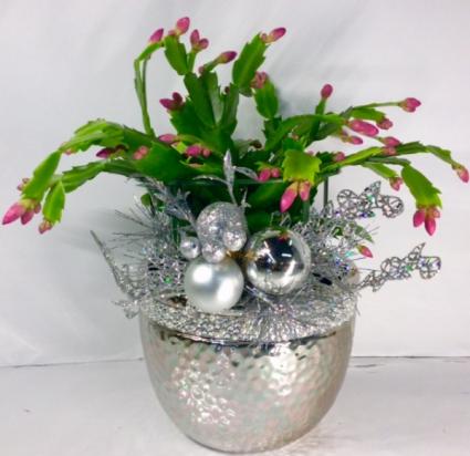 Silver Sparkle Christmas Cactus
