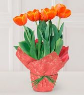 Simple Tulips Spring Flowers