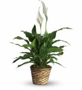 Simply Elegant - 105 Plant