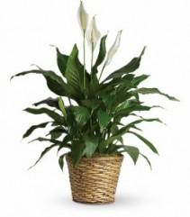 Simply Elegant Spathiphyllum Basket