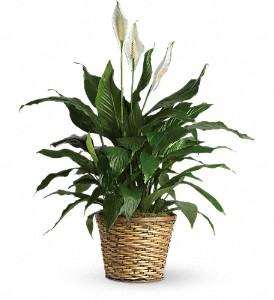 "Simply Elegant Spathiphyllum - Medium (8"" pot) plant in Cincinnati, OH | Hyde Park Floral & Garden"