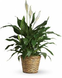 Simply Elegant Spathiphyllum-Medium Plant