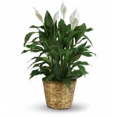 Simply Elegant Spathiphyllum sku # T105-3A