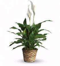 Simply Elegant Spathiphyllum - Small Plant