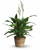 Simply Elegant Spathiphyllum-Small Plant