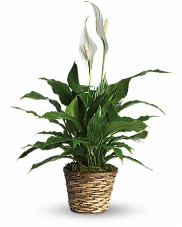 Simply Elegant Spathiphyllum-Small Plant