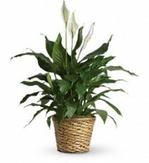 Simply Elegant Spathiphyluum Plant