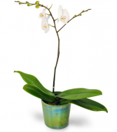 Simply Stunning Orchid Plant