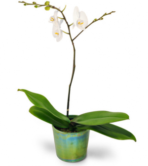 Simply Stunning Orchid Plant in Port Dover, ON   Upsy Daisy Floral Studio