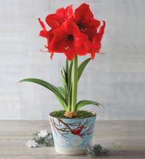 Single Amaryllis Plant Amaryllis Plant