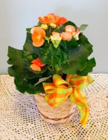 Single Begonia Plant