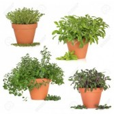 SINGLE HERB POT PLANT