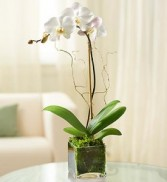 Single Orchid in Glass Cube Live Orchid Arrangement