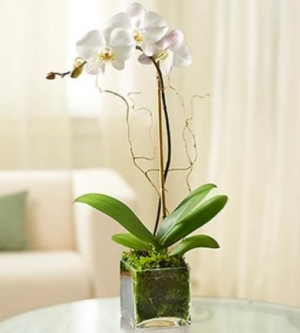 Single orchid plant   in Ozone Park, NY | Heavenly Florist