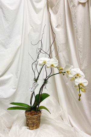 Single Orchid Plant