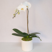 single orchids plants for any occasion