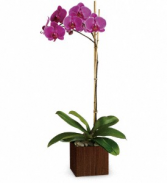 Single Phalaenopsis Orchid Plant