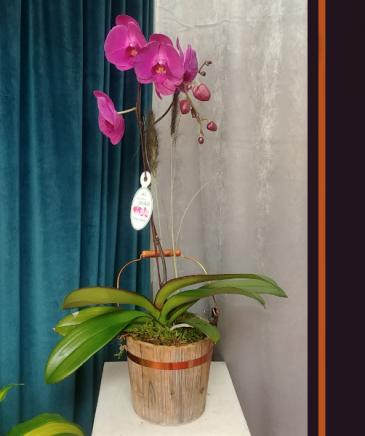 Single Purple Waterfall Waterfall Orchid