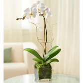 Single Stalk Orchid Plant