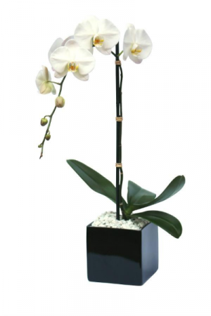 Single Stem Orchid Blooming Plant