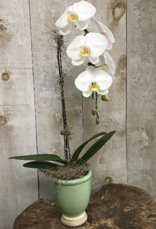 Single Stem Orchid Large White Waterfall Orchid