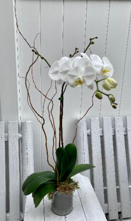 Single Stem Orchid Plant Flowering Plant