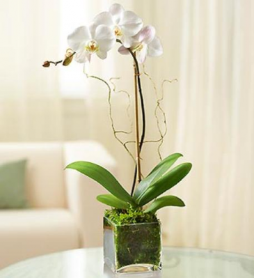 Single Stem Phalaenopsis Orchid in Cube Plant