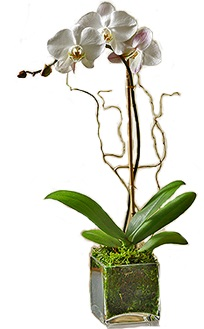 single white orchid in glass cube
