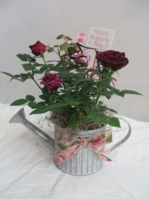 Slendid Roses Metal Watering Can with Miniature Rose Bush