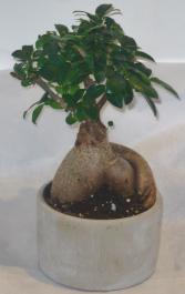 SMALL BONSAI PLANTER Indoor Plants