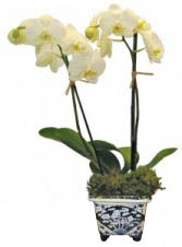 Small double orchid in Delft vase