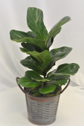 "SMALL FIDDLE LEAF FIG PLANT 6"" GREEN PLANT"