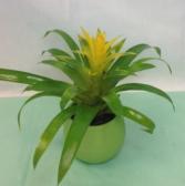 Small Guzmania Bromeliad Green plant