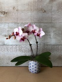 Mini Double Stem Orchid in  pot Flowering Plant