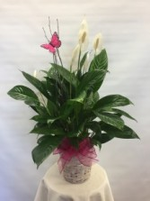 Small Peace Lilly Single Plant Basket