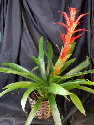 Small, Single Bloom Bromeliad  in Clearwater, FL | FLOWERAMA