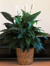 Small Spathiphyllum Plant Peace Lily