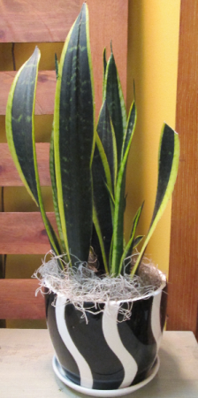 Snake Plant in Pottery  Indoor House Plant