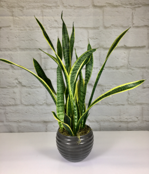 Snake Plant in Pottery  Sansevieria trifasciata  in South Milwaukee, WI   PARKWAY FLORAL INC.