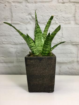 Snake Plant in Stone Pot  Sansevieria trifasciata