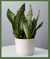 Snake Plant  Low light/partial shade, though ok in moderate indirect light