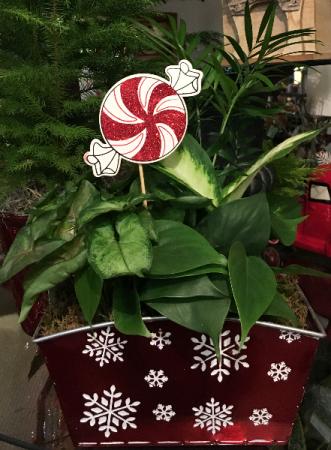 Snowflake Tin Dishgarden Plant